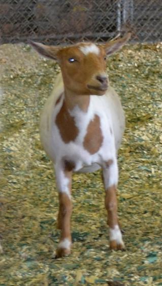 danielles goat